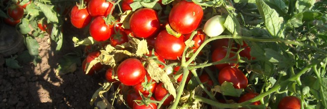 MS 1453 F1:Turkey's first processing tomato hybrid
