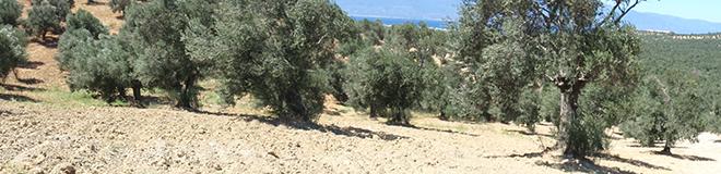 Molecular barcodes for Turkish olive